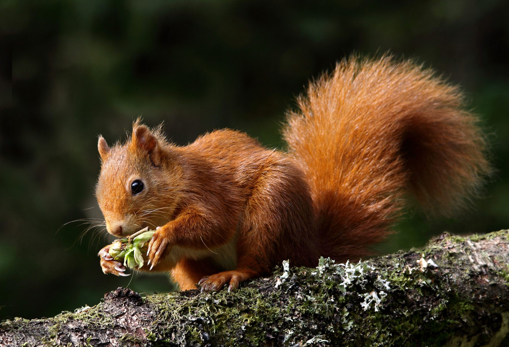 red squirrel adoption scottish wildlife trust