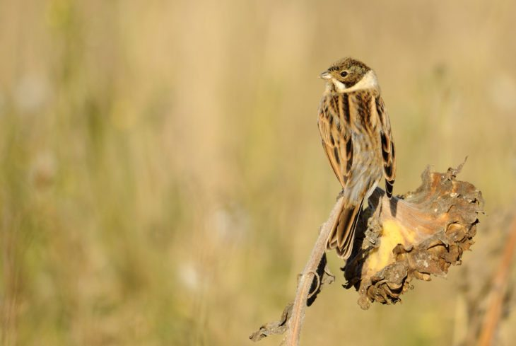 Reed bunting © Amy Lewis