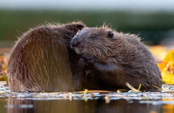 Beavers at Knapdale