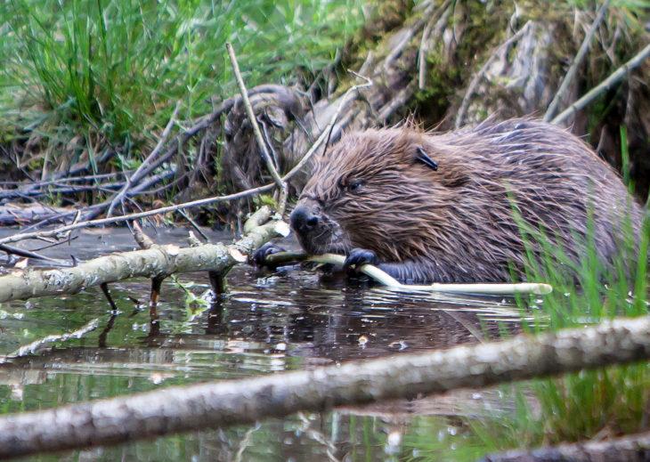 Beaver © Ron Walsh