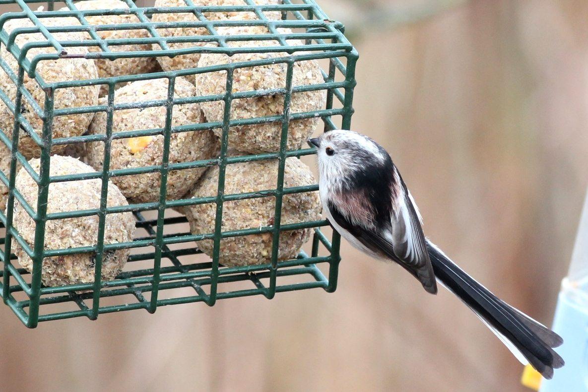 Help garden birds through the hungry gap