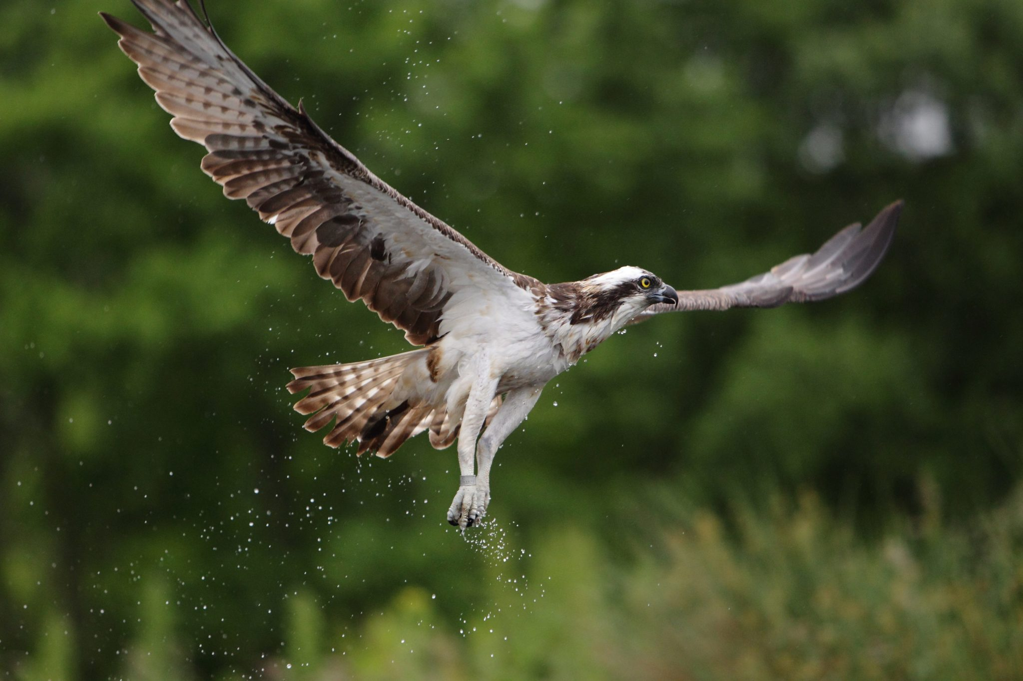 Osprey Fact File Scottish Wildlife Trust