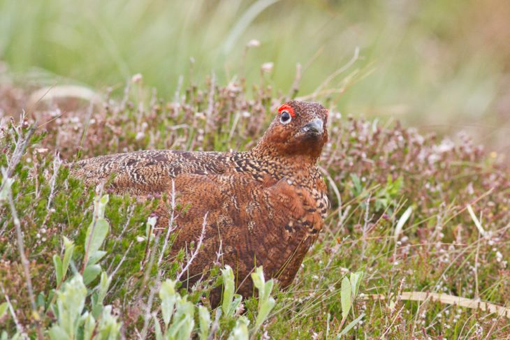 Red grouse on moorland © Steve Gardner