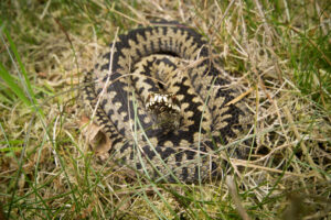 Adder © Neil Aldridge