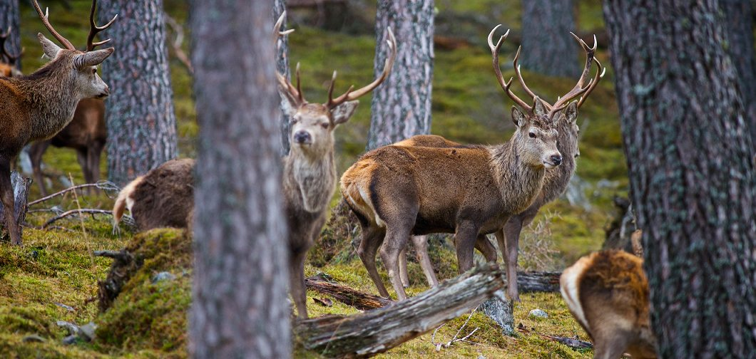 Environmental Groups Call For A New Approach To Deer Management Scottish Wildlife Trust