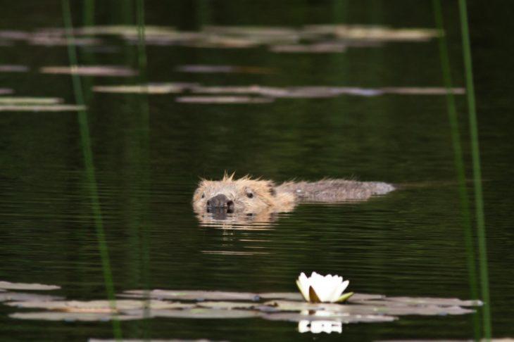 Adult beaver at Knapdale © Steve Gardner