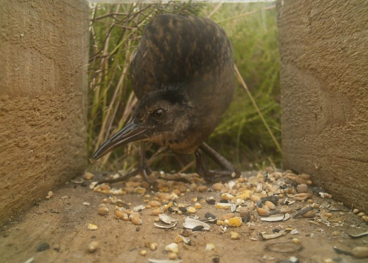 Water Rail © Nick Littlewood