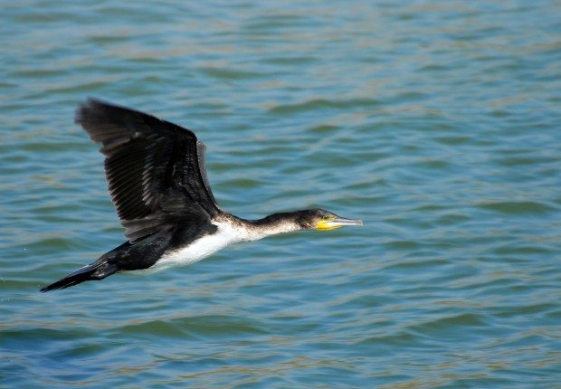 Cormorant © Zsuzsanna_Bird