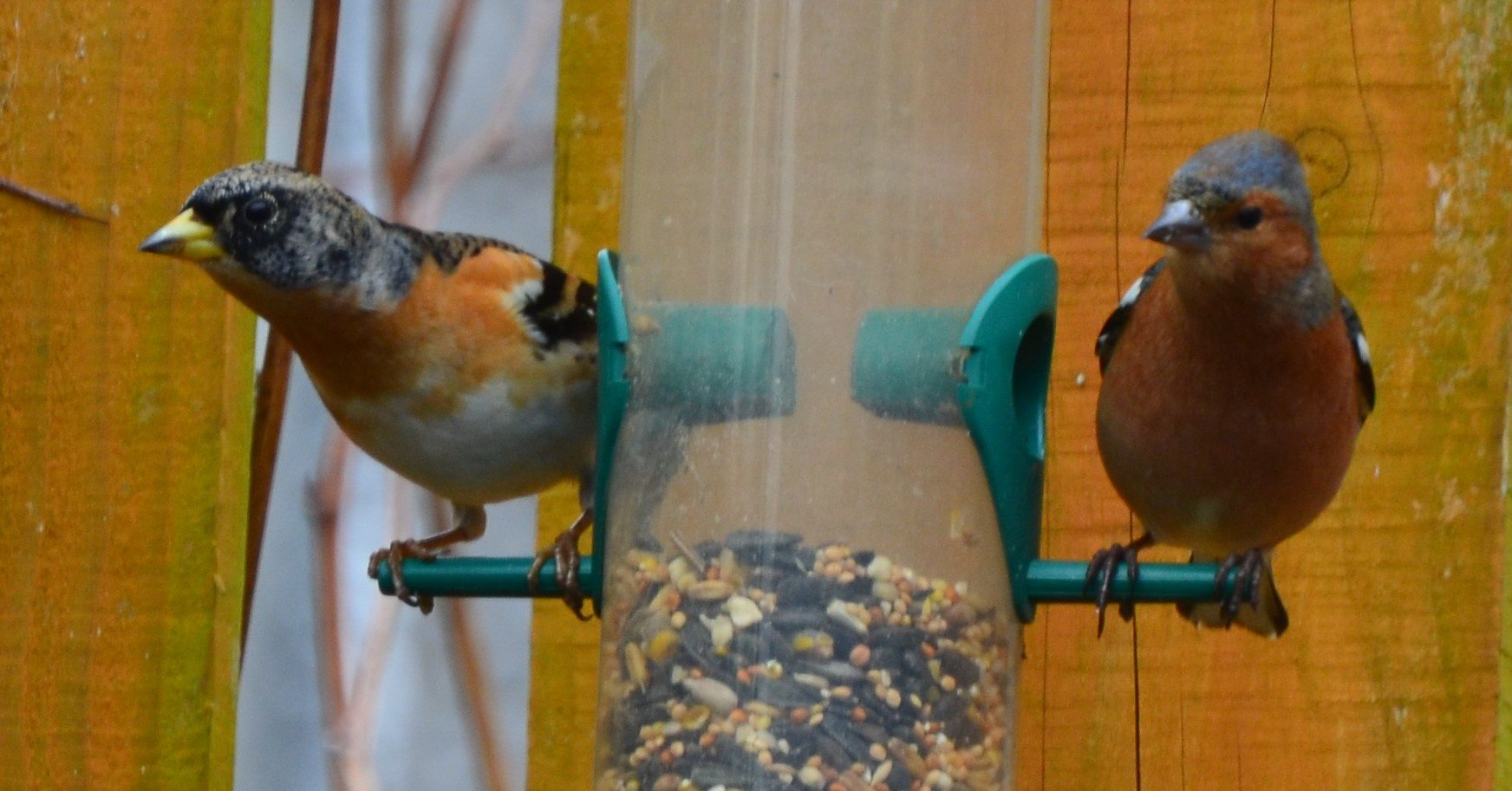 Can you tell a Brambling from a Chaffinch?