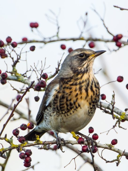 Fieldfare © Don Sutherland
