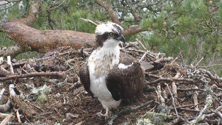 Male osprey LM12