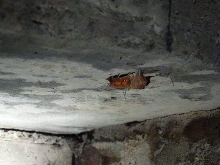 Herald moth © Laura Preston