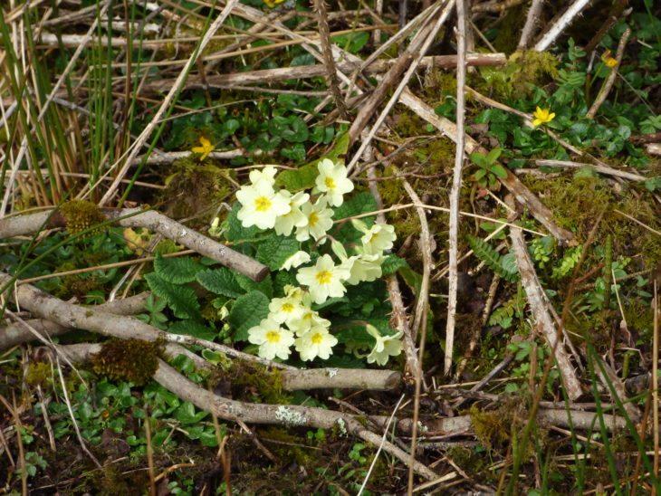Flowering primrose