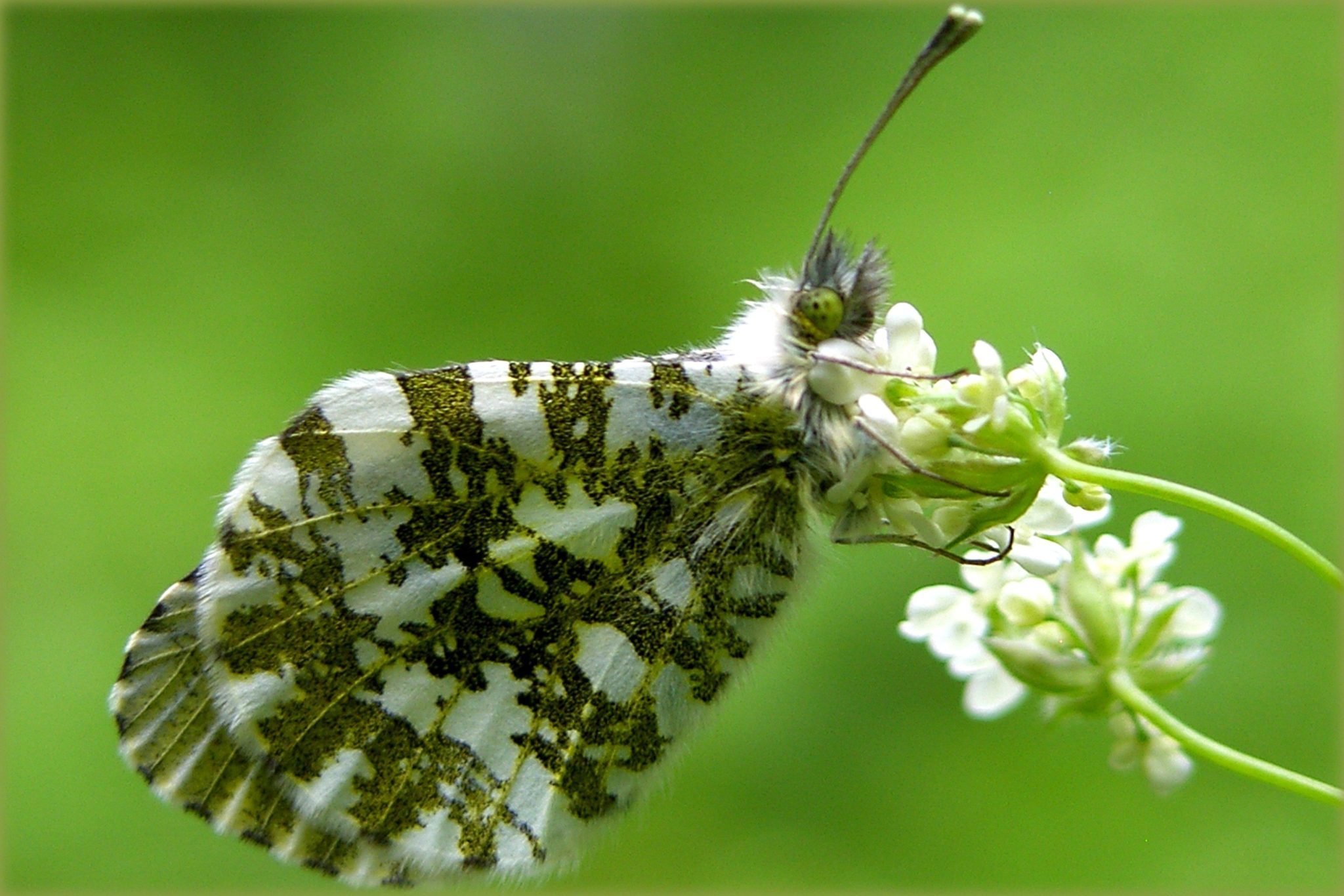 How to identify white butterflies