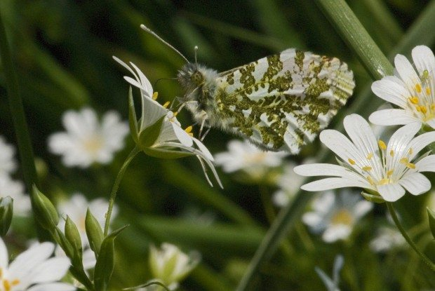 Female Orange-tip butterfly © Les Binns
