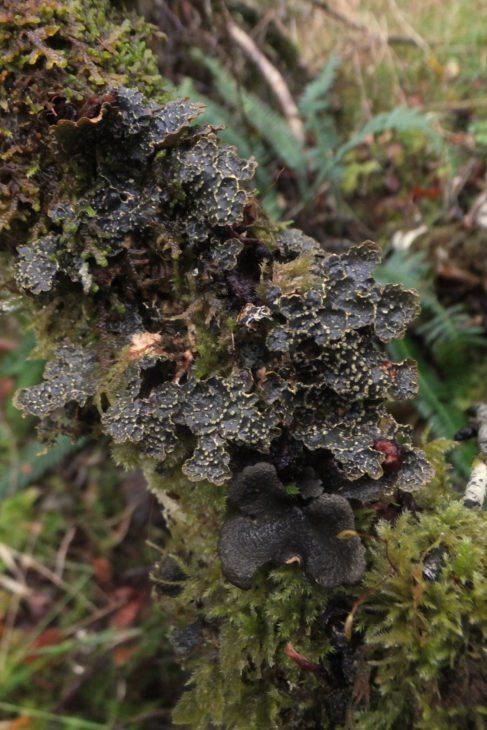 Norwegian specklebelly lichen © Sandy Coppins