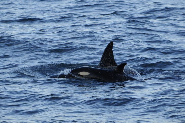 Orca calf and mother