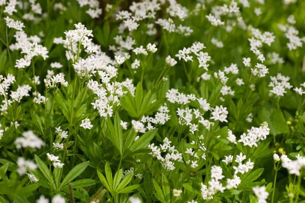 Sweet woodruff © Paul Lane