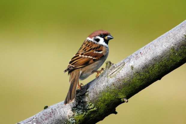 Tree Sparrow © Amy Lewis