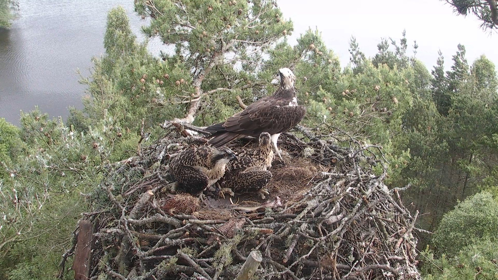 Ringing Chicks and Osprey News