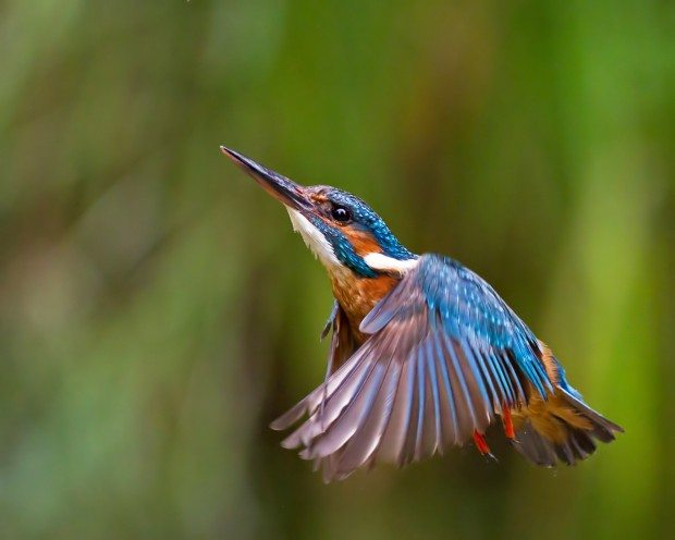 Kingfisher ©Malcolm Brown