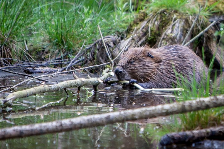 Juvenile Beaver © Ron Walsh
