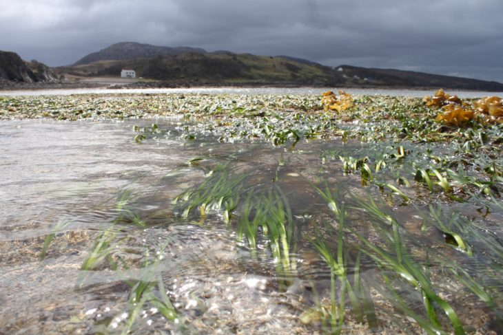 Eelgrass meadow near Ord, Skye © Project Seagrass