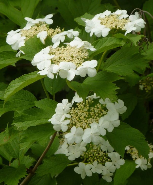 Guelder rose © Andrew Hill