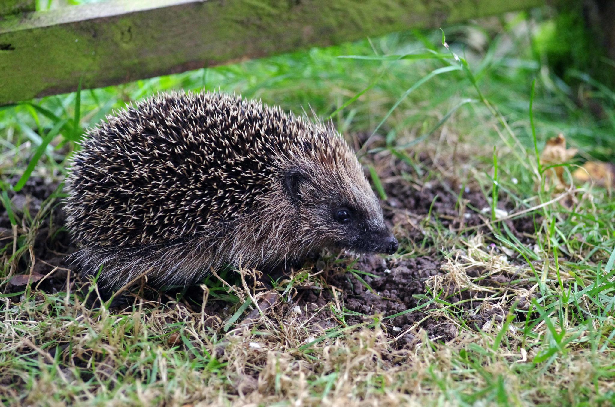 How To Make A Book Hedgehog ~ Come to the falls of clyde and make a hedgehog house for your