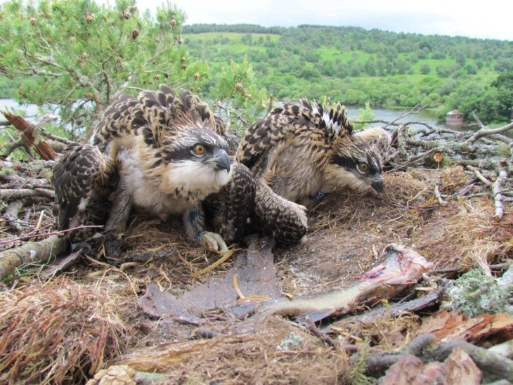 The two ringed osprey chicks at Loch of the Lowes © Keith Brockie