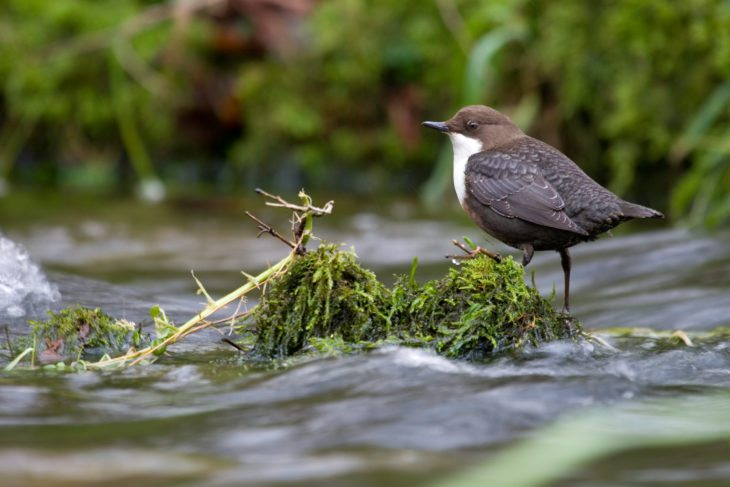 Dipper on a rock © Tom Marshall