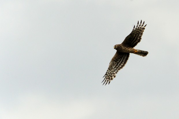 Ringtail Hen Harrier (c) Amy Lewis