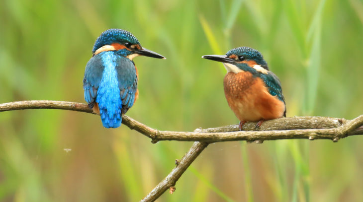 Kingfisher adult and juvenile © Jon Hawkins - Surrey Hills Photography