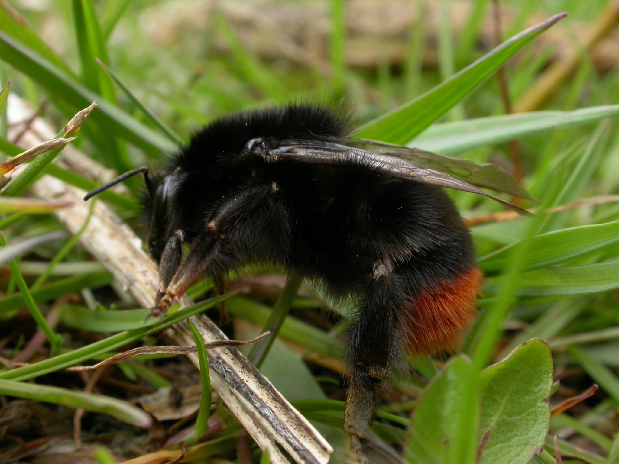 Identifying worn and faded bumblebees is never easy