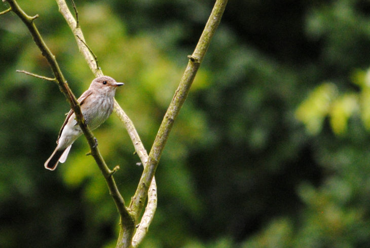 Spotted flycatcher © Amy Lewis