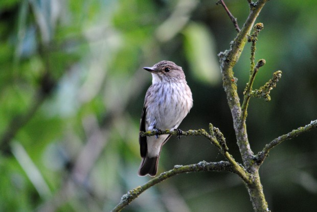 Spotted Flycatcher (C) Amy Lewis