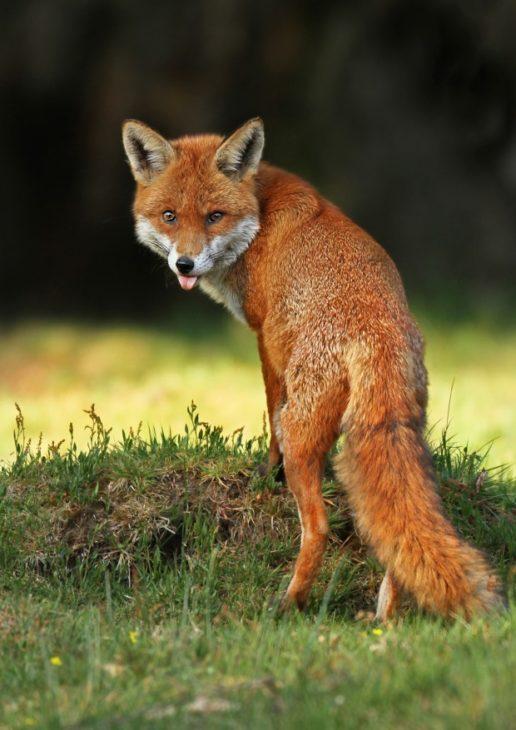 Fox © Jon Hawkins
