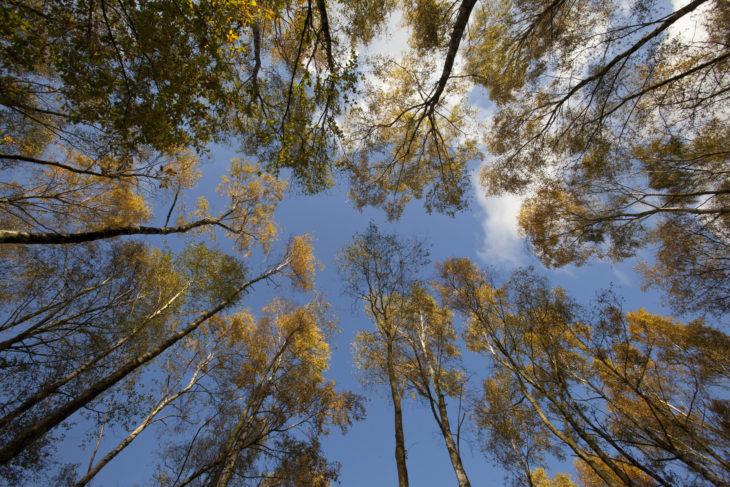 Birch in autumn © Paul Hobson