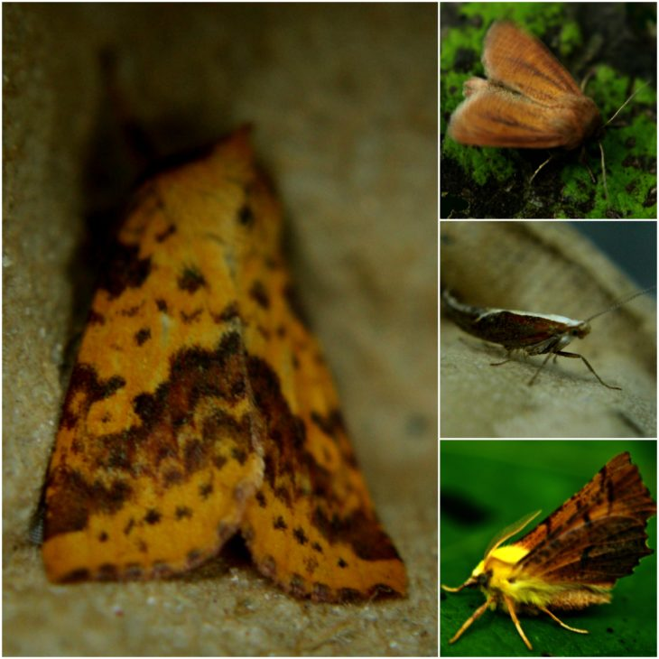 From left: Pink Barred Sallow, Small Wainscot, Honeysuckle Moth, Canary Shouldered Thorn Moth