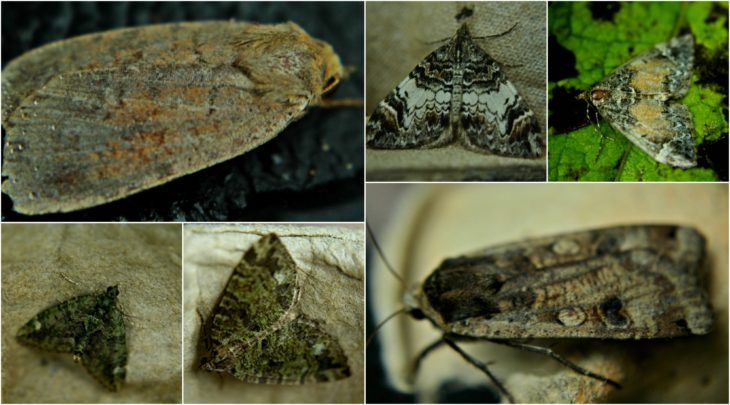 Top left: Barred Chestnut, Dark Marbled Carpet, Common Marbled Carpet. Bottom left: Red Green Carpet, July Highflyer, Large Yellow Underwing