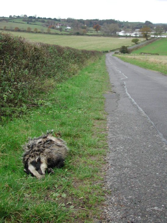 Dead badger by the roadside © Philip Precey