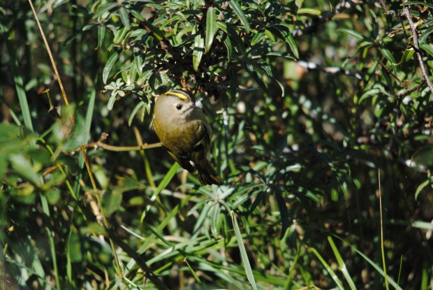 Goldcrest (C) Amy Lewis