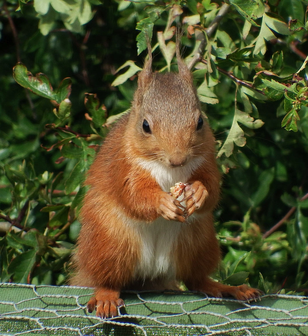 It's Red Squirrel Week!!