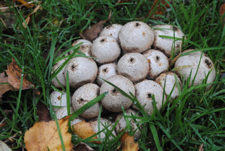 Puffballs © Amy Lewis