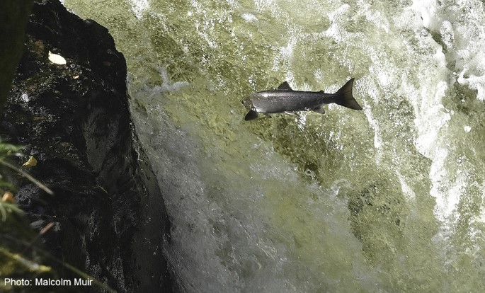 Salmon ©Malcolm Muir