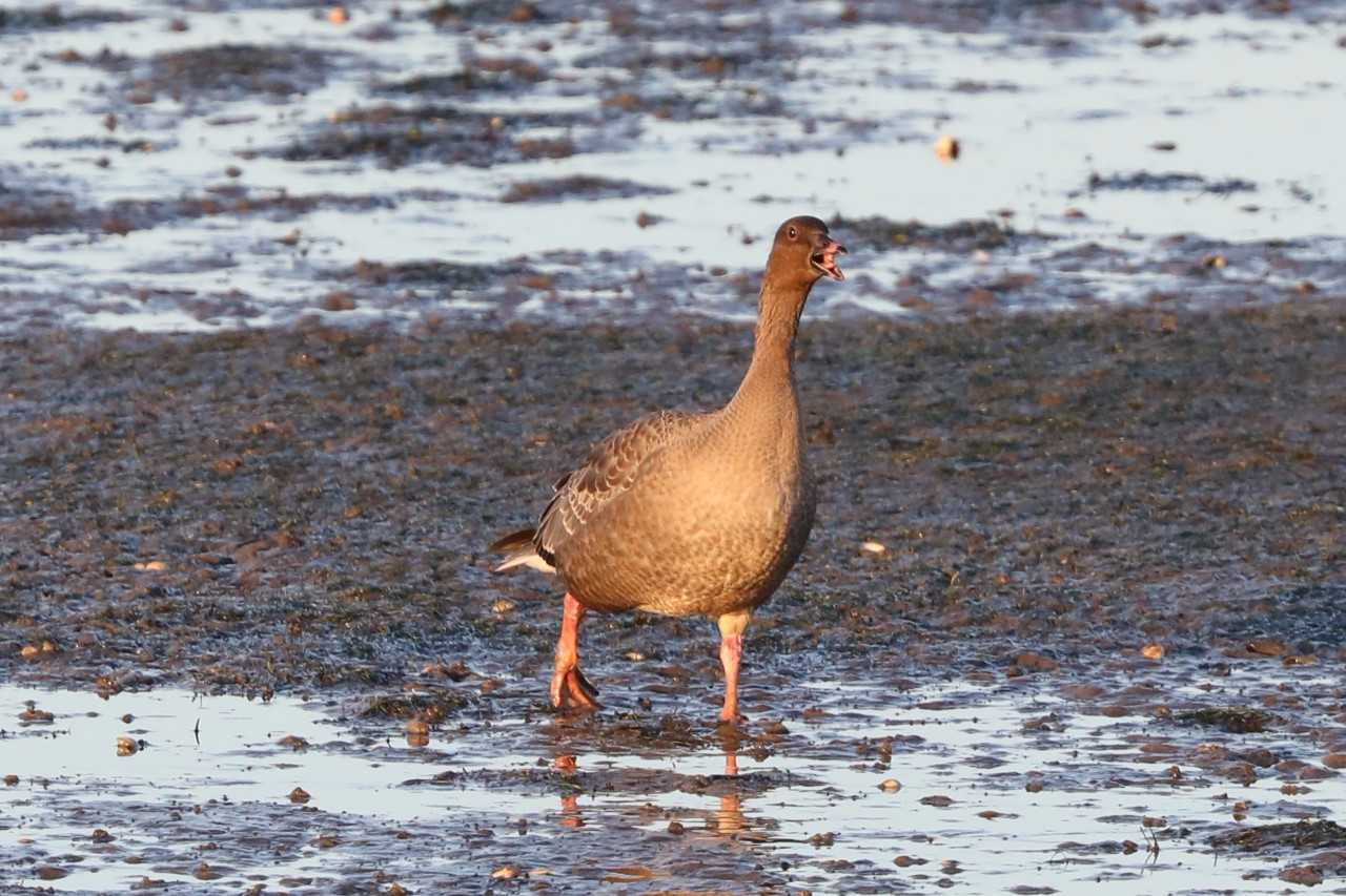 The Pink-footed Geese and Montrose