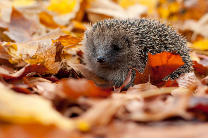 Hedgehog in autumn leaves ©Tom Marshall