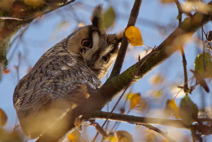 Long-eared owl © Bernard Stam