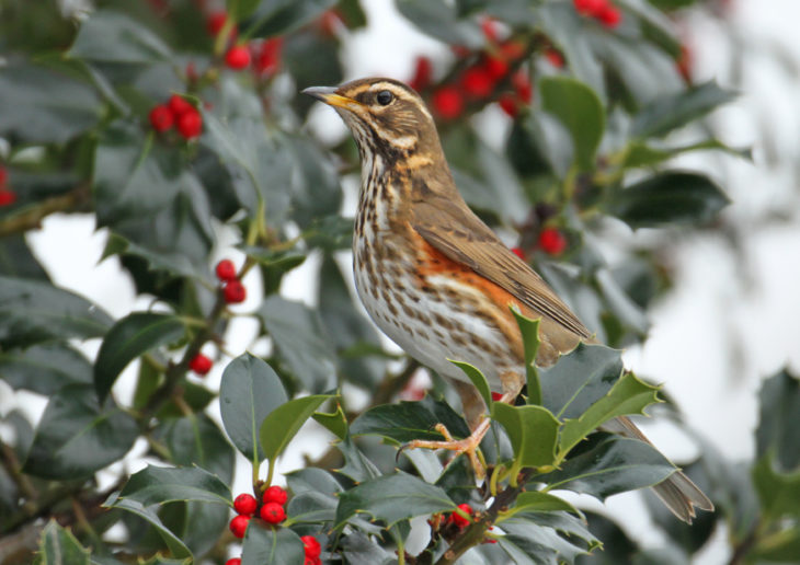 Redwing © Jon Hawkins - Surrey Hills Photography