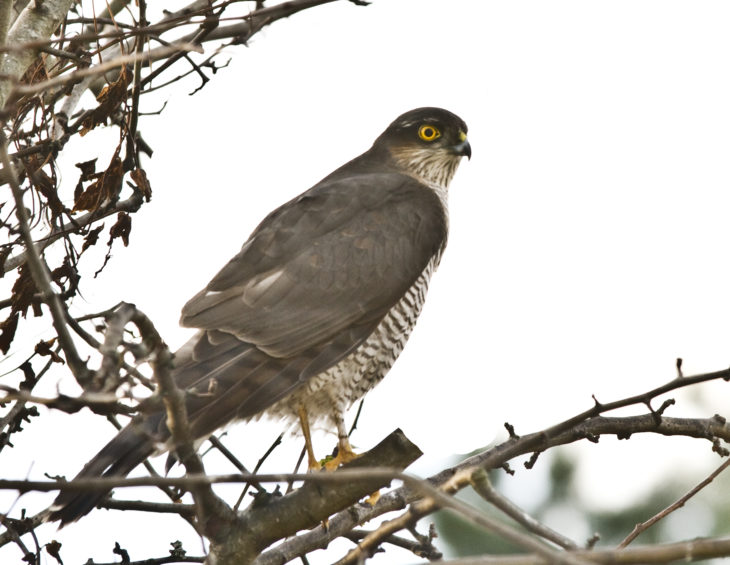 Female Sparrowhawk © Harry Hogg